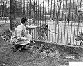 Roofdierenverzorger Frits Verbrugge gered in leeuwenkooi door collega Rudi Sitte, Bestanddeelnr 910-2776.jpg