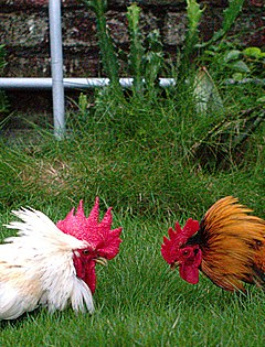 Roosters preparing to fight