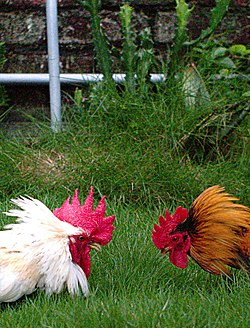 Two Roosters about to fight.