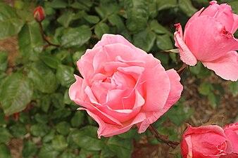Rosa 'Queen Elizabeth'.JPG