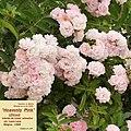 """Rosa """"Heavenly Pink"""" o LENnedi. 03.jpg"""