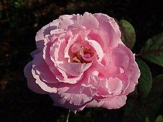 Rosa Mrs. John Laing 2018-09-21 1433.jpg
