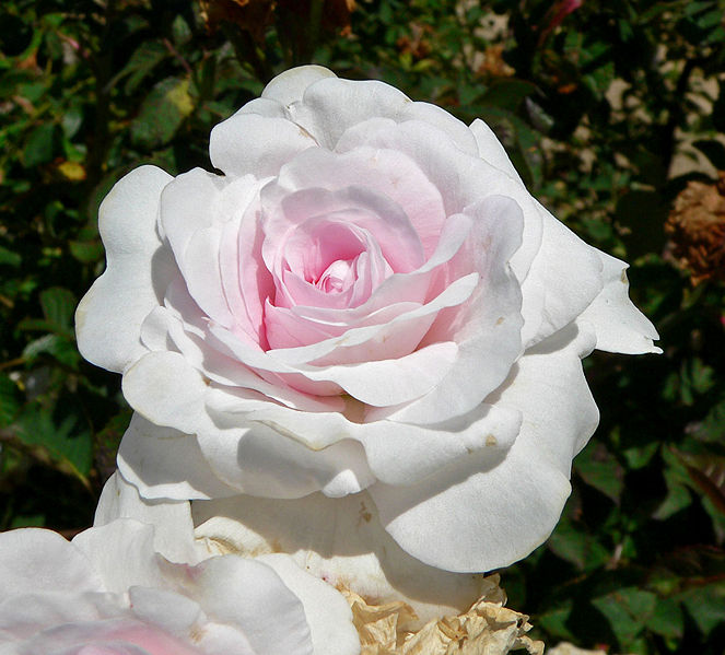 File:Rosa Pompon Blanc Parfait 1.jpg