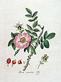 Rosa canina — Flora Batava — Volume v4.jpg