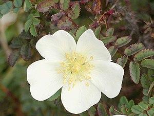 Rosa pimpinellifolia - Burnet rose flower
