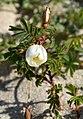 Rosa spinosissima inflorescence (46).jpg