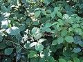 Rosales - Rubus fruticosus - 39.jpg