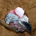 Rose-breasted Cockatoo (6969408009).jpg