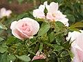 Rose Many Happy Returns バラ メニー ハッピー リターンズ (6902665597).jpg