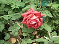 Rose from Lalbagh flower show Aug 2013 8550.JPG