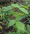 Rubus allegheniensis 2017-05-23 1408.jpg