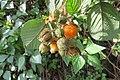 Rubus ellipticus - Yellow Himalayan Raspberry - at Ooty 2014.jpg