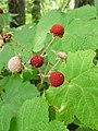 Rubus parviflorus 3.jpg