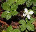 Rubus pedatus (flower s2).JPG