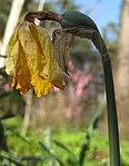Ruhland, Grenzstr. 3, Gelbe Narzisse, Blüte verblüht mit wachsender Samenkapsel, Frühling, 01.jpg