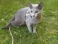 Russian Blue kitten with a harness.jpg