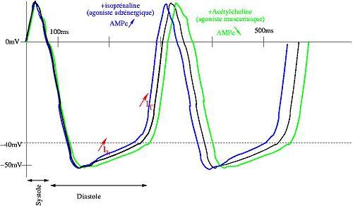 Nœud sinusal — Wikipédia