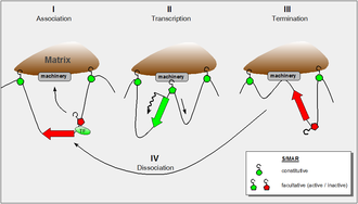 Scaffold/matrix attachment region - S/MAR-functions: constitutive and facultative. A chromatin domain with constitutive S/MARs at its termini (I). When functional demands require the specific translocation of the constituent gene to the matrix, facultative S/MARs responds to topological changes which are initiated by the association of transcription factors (TF) and supported by histone acetylation. Topological changes are propagated once the gene is pulled through the transcriptional machinery (II). Transcription is terminated (III) followed by dissociation of the transcription complex (IV)