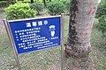 SZ 深圳 Shenzhen 蛇口 Shekou Nanshan 四海公園 Sihai Park Royal Palm 大王椰子 Roystonea regia Sept 2017 IX1 04.jpg