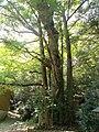 Sacred tree of Iwaya-jinja.jpg