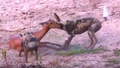Safari Live Videos-Hunting- Part 1 of 4- How Wild Dogs Hunt.png