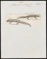 Salamandra cristata - 1700-1880 - Print - Iconographia Zoologica - Special Collections University of Amsterdam - UBA01 IZ11400107.tif