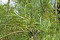 Salix exigua kz02.jpg