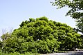 Salix koreensis 1.jpg