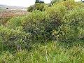 Salix pentandra0.jpg