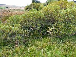 Salix pentandra - Bay willow with early autumn colours, Kielder, Northumberland