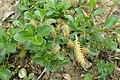 Salix simulatrix kz01.jpg