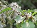 Salix tetrasperma - Indian Willow at Bavali (7).jpg