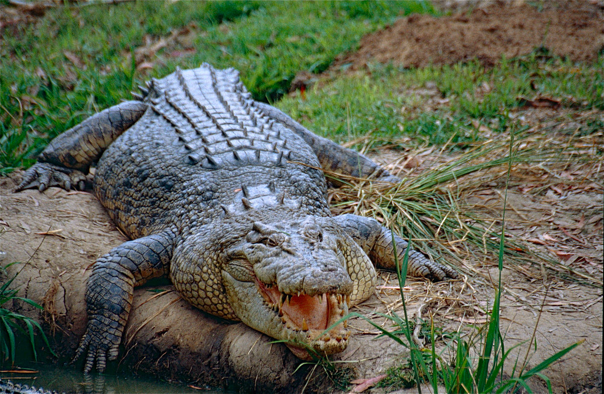 קובץ:Saltwater Crocodile (Crocodylus porosus) (10106344616).jpg – ויקיפדיה