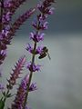 Salvia neomoros mit Insekt.JPG