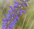 Salvia pratensis in Lozere (5).jpg