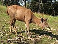 Sambar stag teak leaves AJT Johnsingh.JPG