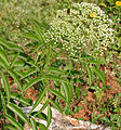 Sambucus canadensis W2 IMG 3149.jpg