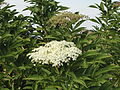 Sambucus nigra, bloeipluime, Louwsburg.jpg