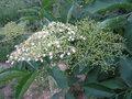 Sambucus nigra2 beentree brok.jpg