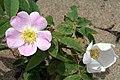 Sand Flowers (699251402).jpg