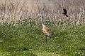 Sandhill Crane mobbed by Red-winged Blackbird - Ohio - FJ0A0758 (38916605975).jpg