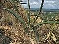 Sansevieria hallii landscape (4529594117).jpg