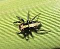 Saphrys rusticana cropped.jpg