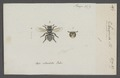 Saropoda - Print - Iconographia Zoologica - Special Collections University of Amsterdam - UBAINV0274 045 09 0010.tif