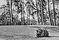 Sascha Grosser - Wildschwein kk8.jpg