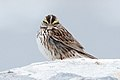 Savannah Sparrow (7458250966).jpg