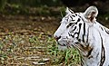 Save Tiger (3553126833).jpg