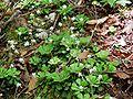 Saxifraga cuneifolia3.jpg