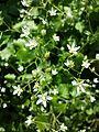 Saxifraga rotundifolia sl2.jpg