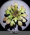 Saxifraga tridactylites sl29.jpg